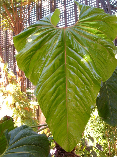 Anthurium - Large Leaf Anthurium (Anthurium - Large Leaf Anthurium)
