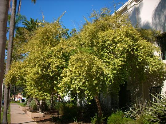Duranta repens 'variegata' - Pigeon Berry Tree (Duranta repens 'variegata')