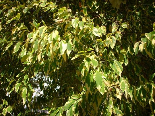 Duranta repens 'variegata' -  Variegated Pigeon Berry Tree (Duranta repens 'variegata' - Pigeon Berry Tree)