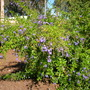 Duranta repens - Pigeon Berry Tree (Duranta repens)