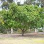 Ficus lutea - Zulu Fig (Ficus lutea - Zulu Fig)
