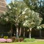 Bismarckia nobilis - Bismarck Palm (Bismarckia nobilis (Bismarck Fan Palm))