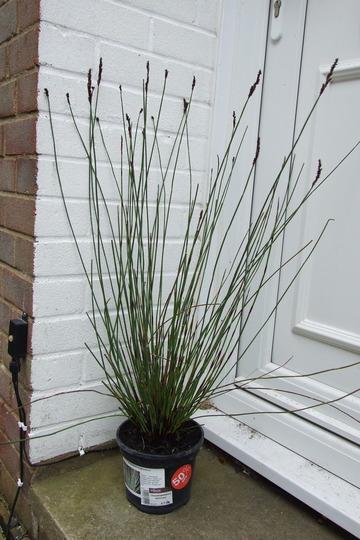 Grass like plant (chondropetalum tectorum)
