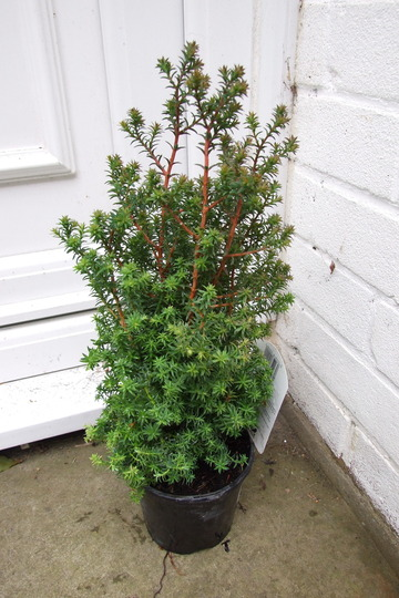 Conifer Rubicon (chamaecyparis thyoides (Rubicon))