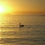 Pelican_sunrise