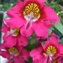 Red Schizanthus. (Schizanthus)