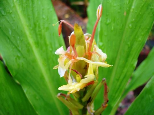 Hedychium (Hedychium gardnerianum)