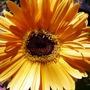 Yellow_gerbera_daisy_closeup