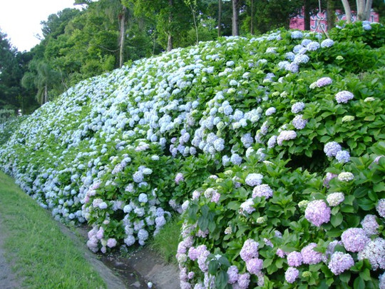 Hydrangeas (Hydrangea anomala (Climbing hydrangea))