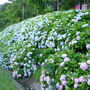 Hydrangeas (Hydrangea anomala (Climbing hydrangea))