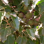 Aleurites molucanna - Kukui Nut Tree (Aleurites molucanna)