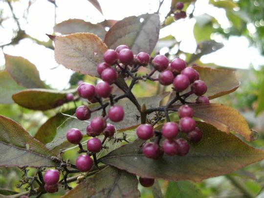 Beauty bush  (Callicarpa)