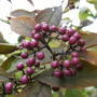 Beauty bush  (Callicarpa)
