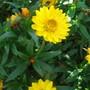 Helichrysum Golden Beauty (Helichrysum arenarium)