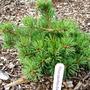 Pinus_parviflora_eilidh_