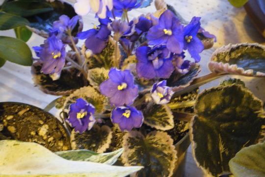 New Variegated african violet (Saintpaulia ionantha)