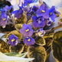 New Variegated african violet (Saintpaulia ionantha)