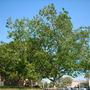 Ficus mysorensis - Mysore Fig (Ficus mysorensis)