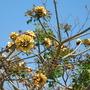 Erythrina - Coral Tree (Erythrina)