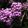 2007_1107_0863.jpg - Callicarpa