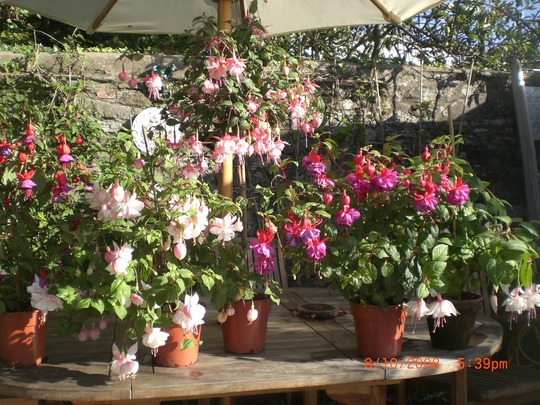 fuchsias in the greenhouse