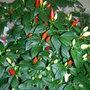 """Chilli/Chili/Chile Pepper """"Prairie Fire"""""""