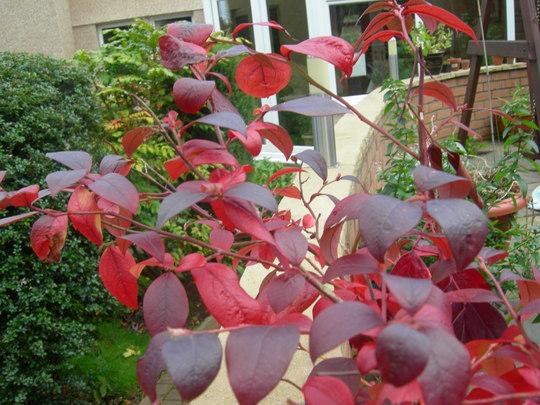 Blueberry Autumn foliage