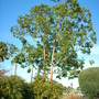 Eucalyptus deglupta - Mindinao Gum, Rainbow Eucalyptus (Eucalyptus deglupta - Mindinao Gum)
