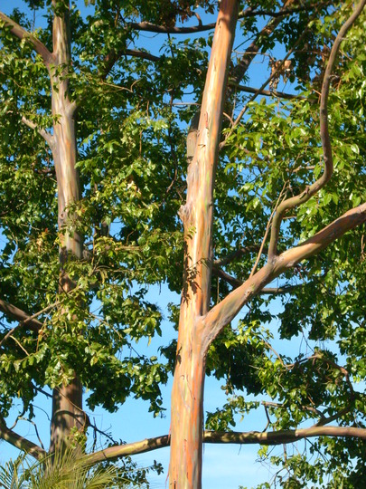 Eucalyptus deglupta - Mindinao Gum, Rainbow Eucalyptus (Eucalyptus deglupta)