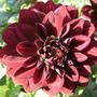 Dahlia_small_decorative
