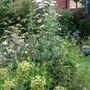 Euphorbia 'Humpty Dumpty' and clematis