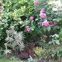 rosa 'Ferdinand Pichard' and variegated Euphorbia