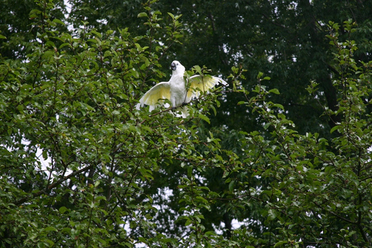 Andrea, our baby Cokcatoo enjoing a summer shower on an apple tree