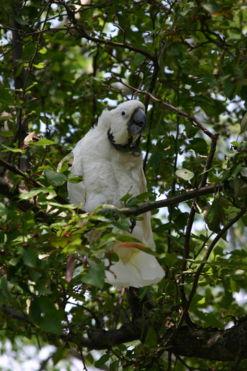 Andrea, our baby Cokcatoo enjoing a summer day on our Crab Apple tree