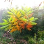 Misty October morning in Hungary no 2 (Rhus typhina (Stag's horn sumach))