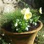 Mum 's terracotta pot re-planted.