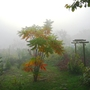 Misty October morning in Hungary no 10 (Rhus typhina (Stag's horn sumach))