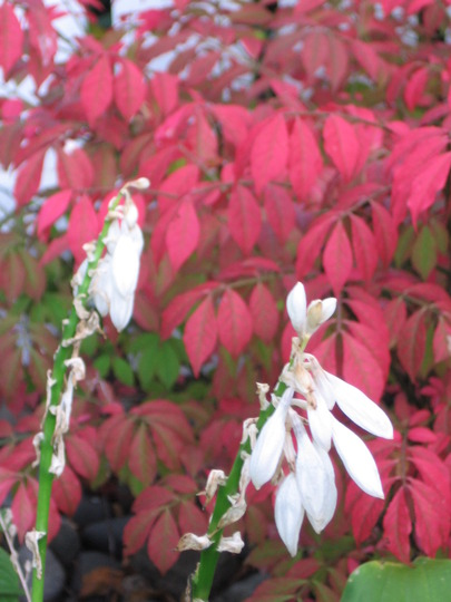 red and white (Euonymus alatus (Winged spindle))
