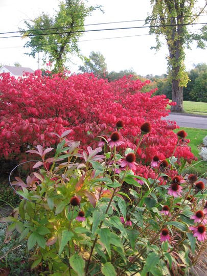 Celtic Colors (Euonymus alatus (Winged spindle))