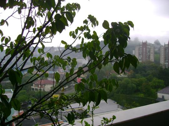 Ficus Benjamina (Ficus benjamina (Weeping fig))