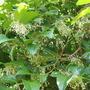 Austromyrtus