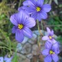 Blue Eyed Grass (Sisyrinchium atlanticum)