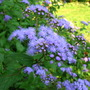 Mistflower is in bloom, one of my last perennials to bloom (Eupatorium coelestinum)