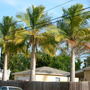 Ravenea rivularis - Majesty Palm (Ravenea rivularis - Majesty Palm)