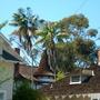 Howea forsterana - Kentia Palm (Howea forsterana)