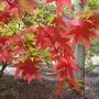 Acer palmatum (Acer palmatum (Japanese maple))