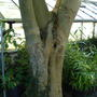 Ash Tree Trunk (Fraxinus excelsior)