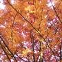 Sorbus sp. (Sorbus sp.)
