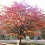 Sorbus sp. (Sorbus sp)
