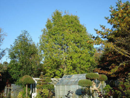 My giant Ash Tree (Fraxinus exceelsior)